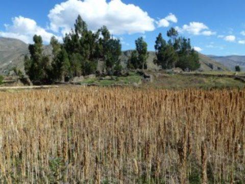 キヌアはボリビアやペルーが原産地