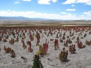 ボリビアのキヌア