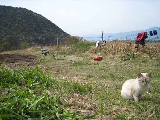 キヌア栽培