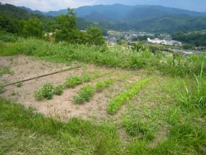 キヌア畑成長