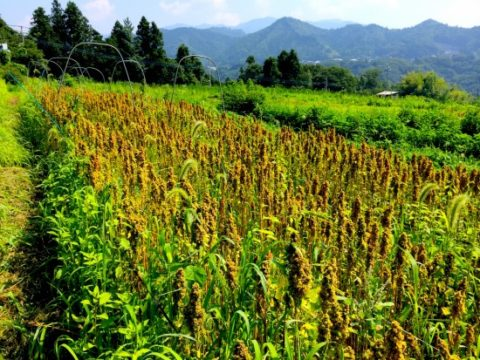 アンデス由来のキヌアを日本で栽培するにあたって