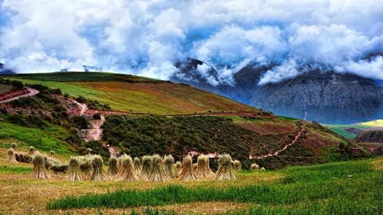 キヌア収穫風景