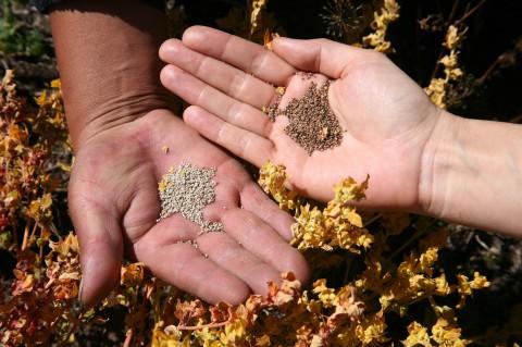 日本での栽培に合うかもしれないキヌア種子6つ