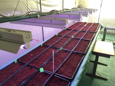 世界初かも!キヌアの施設栽培を始めてみた